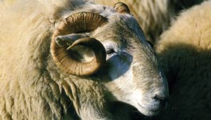 welsh mountain ram